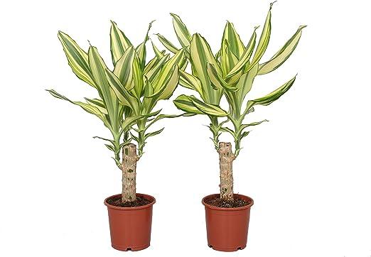 Plantas de interior de Botanicly – 2 × Árbol dragón – Altura: 40 ...