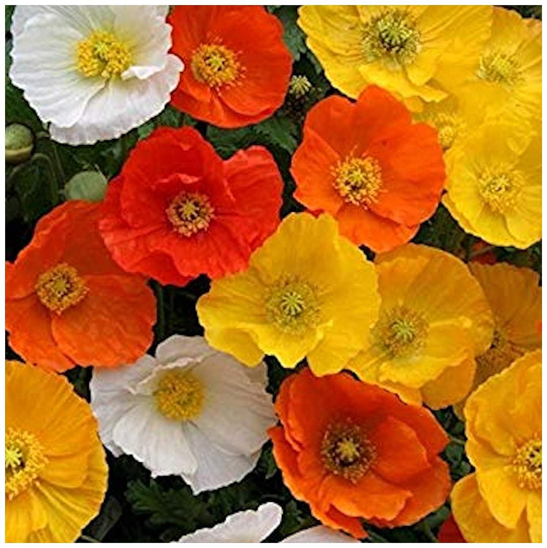 10 Papaver NUDICAULE 'Garden GNOME' Iceland Poppy Medium Plug Plants - Hardy Perennial