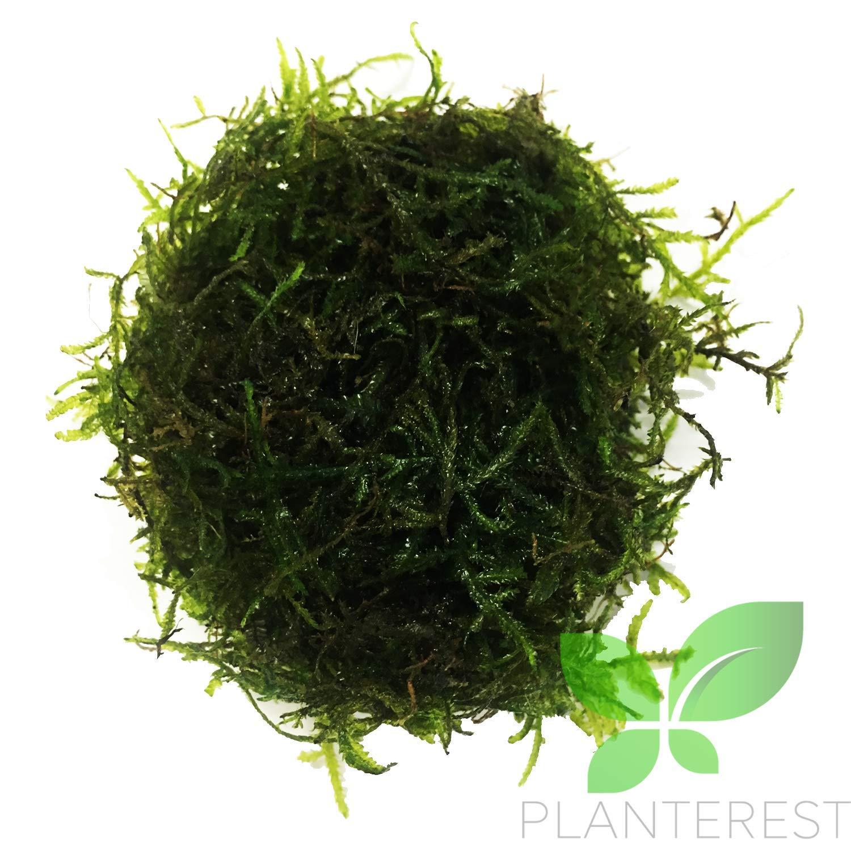 Planterest - Java Moss | Vesicularia Dubyana Freshwater Live Aquarium Plant BUY2GET1FREE by Planterest
