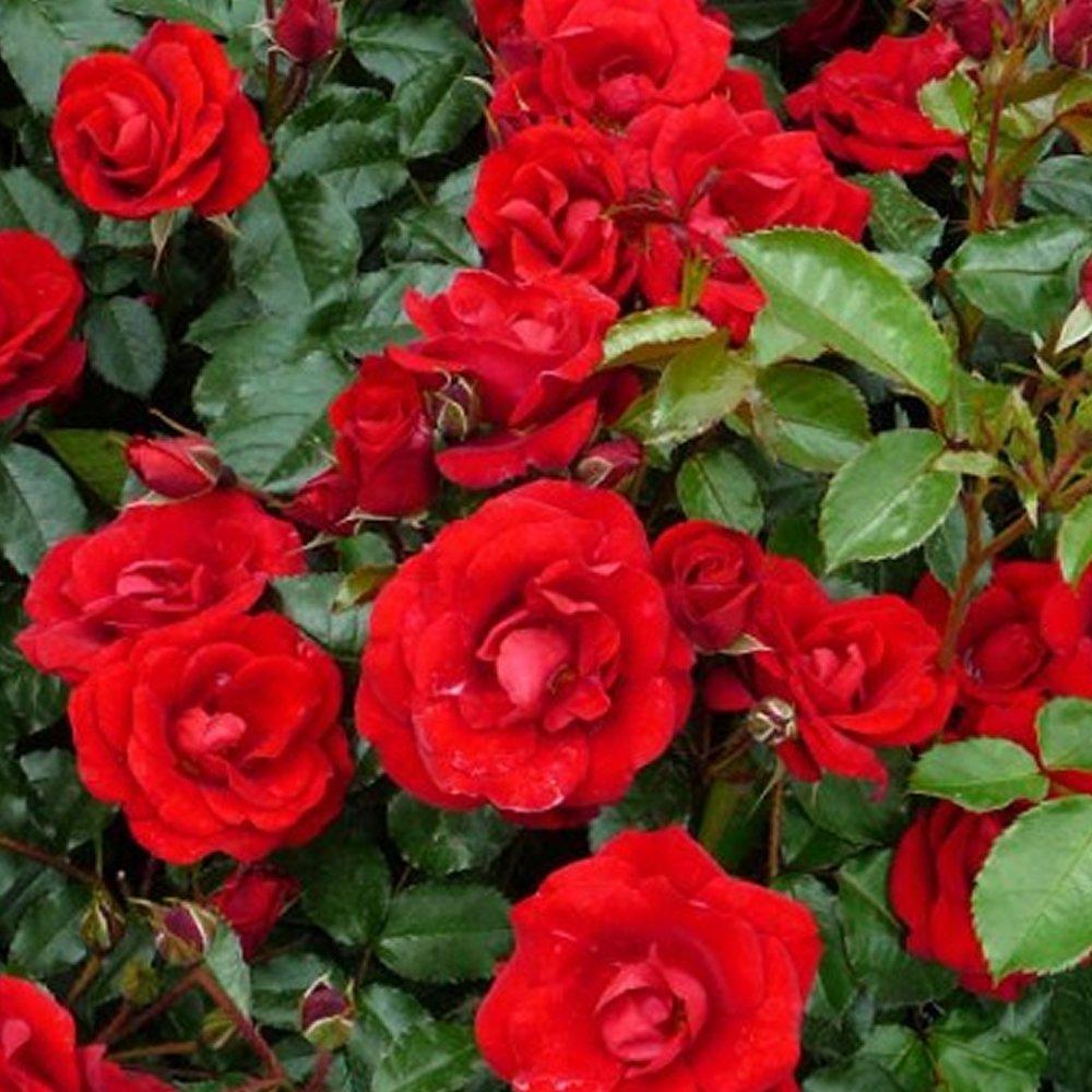 1 X CAMELLIA WILLIAMSII 'RUBY WEDDING' BUSHY EVERGREEN SHRUB HARDY PLANT IN POT Gardener's Dream