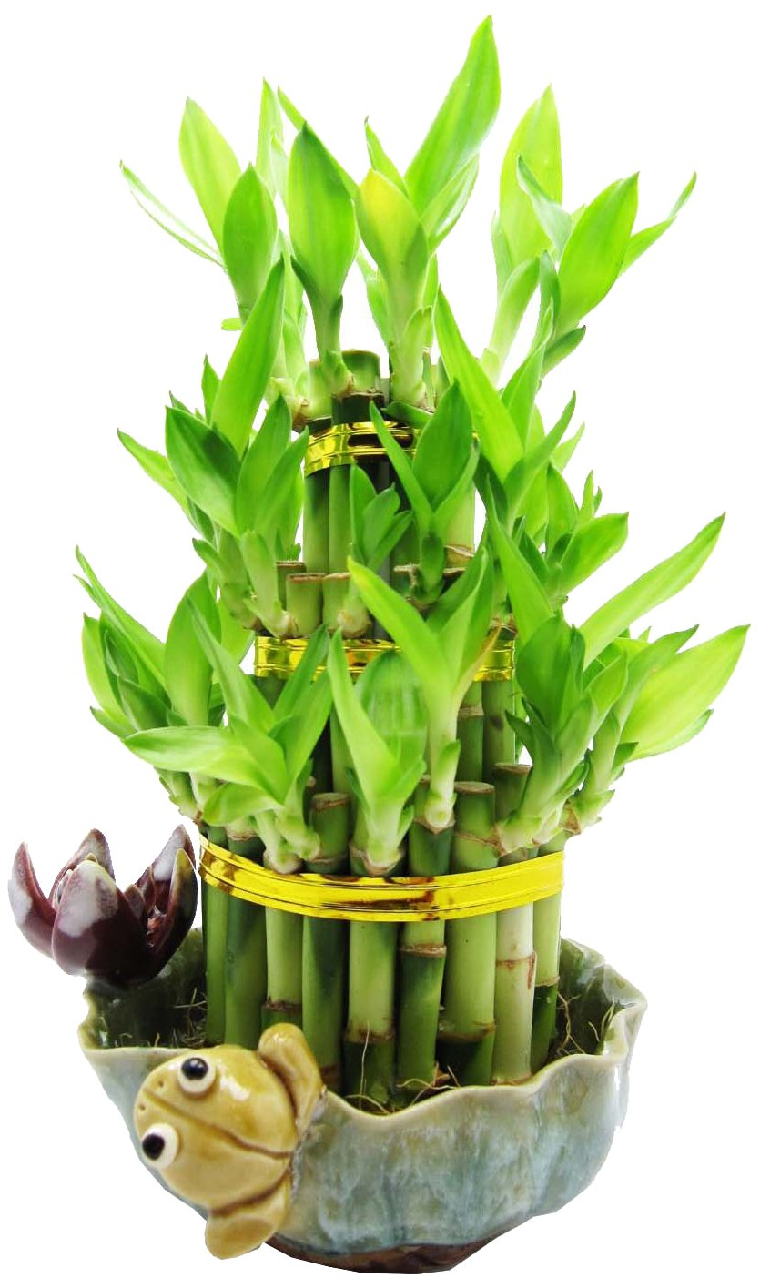 Set of 2 Live Cake Layer Lucky Bamboo Plant Arrangement with Frog and Lotus Handmade Ceramic Pot 40 Stalk