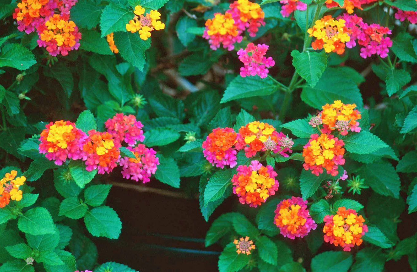 Amazon Lantana Confetti Flowering Plant Bush Live Potted