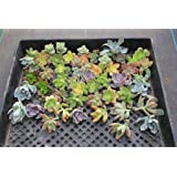 50 Succulent ROSETTE style CUTTINGS great for Vertical Gardens, Weddings and Wreaths