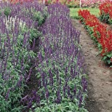 Salvia Flower Garden Seeds - Victoria Series - 1000 Seeds - Violet Blue Blooms - Annual Flower Gardening - Salvia Coccinea