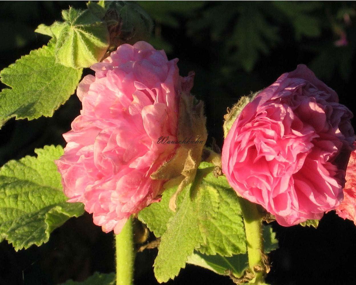 "Rosa Lavendel Pflanze im 9x9cmTopf Lavandula angustifolia /""Rosea/"""