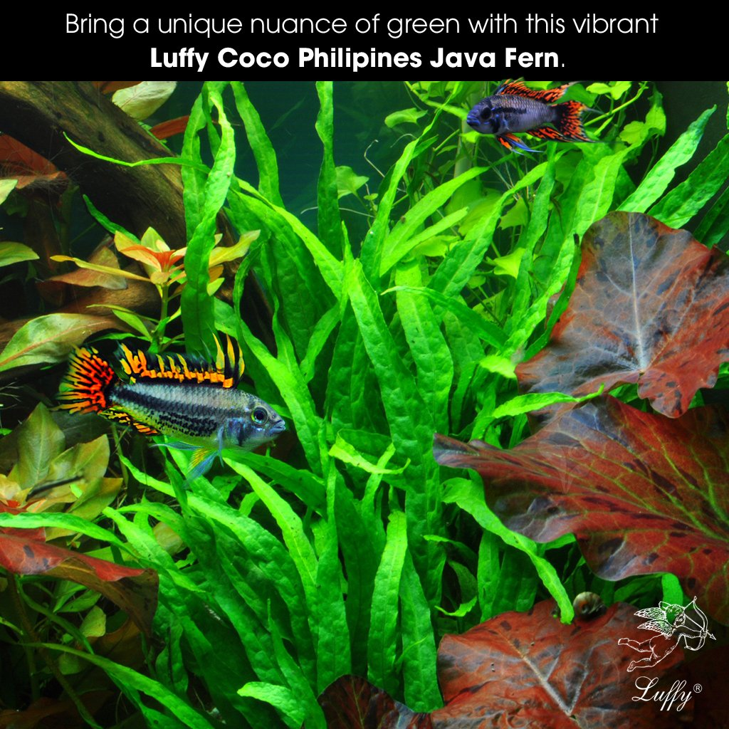 Fish tank real plants - Amazon Com Luffy Coco Philippines Java Fern Live Aquatic Plant With 10 Leaves Provides A Natural Environment For Your Fish Easy Care Hardy Plant