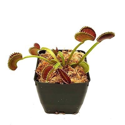 """Venus Flytrap 'Dente' Carnivorous Plant, Dionaea muscipula, Live Arrival, Adult Plant, 3"""" Pot - Predatory Plants: Garden & Outdoor"""