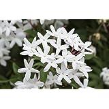 "Star Jasmine Vine, Live Potted Plant, Jasminoides, Very Fragrant, 7"" - 16"""