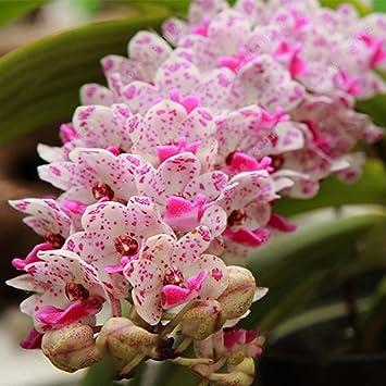 Kisshes Seedhouse - 50/100pcs Asie Graines de \'Orchidées ...