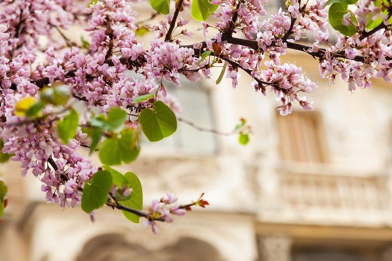 Pianta di Cercis Siliquastrum albero di Giudas