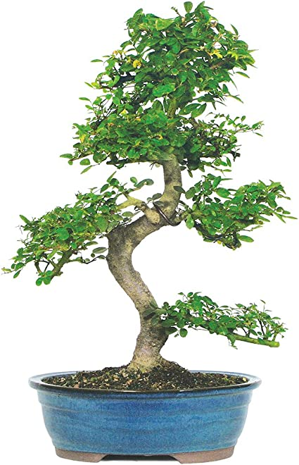 Amazon Com Brussel S Live Chinese Elm Outdoor Bonsai Tree 15 Years Old 14 To 18 Tall With Decorative Container Garden Outdoor