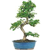 Brussel's Chinese Elm Bonsai - X Large - (Outdoor)