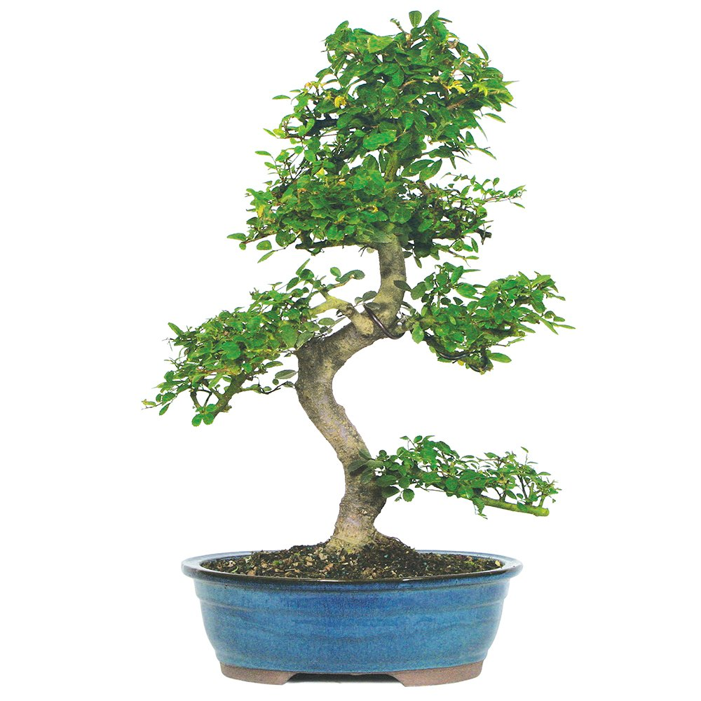 Brussel's Live Chinese Elm Outdoor Bonsai Tree - 15 Years Old; 14'' to 18'' Tall with Decorative Container