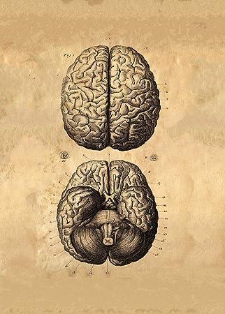 Vintage Anatomie menschlichen Gehirns C1776 von Albrecht von Haller ...