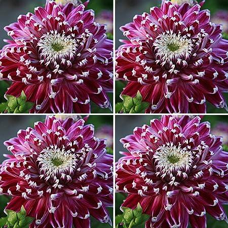 Amazon Com Burpee Vancouver Dahlia Cut Flower Multi Pack 4