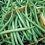 Bean, Bush Provider Seeds, Organic, NON-GMO, 25+ seeds per package, Hearty, Healthy Beans.