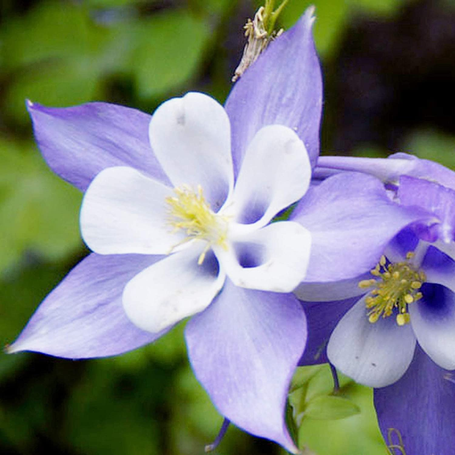 UtopiaSeeds Blue Dream Columbine Seeds - A Favorite Perennial Wildflower and State Flower of Colorado - Approximately 2800 Seeds