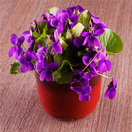 Amazon.com : European Flowers Purple Violet Seeds of ... on best dried flowers, succulent plant with orange flowers, house plant trees, house plants with fruit, house plants with leaves, house plants with pink, house plant identification, house plants for cats, house plants that bloom, dollhouse miniature plants and flowers, house plant purple underside, house plants with lily, house plants with red stems, variegated flowers, garden plants and flowers, potato vine plant flowers, house plants with color, house plants with butterflies, house plant purple heart,