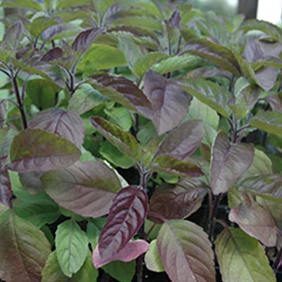 Red Holy Basil Seeds - Krishna Tulsi - Ocimum Sanctum - 200+ Seeds! : Garden & Outdoor