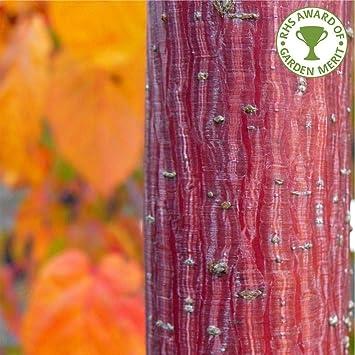 Acer Davidii George Forrest Snakebark Maple Tree In A 7 Litre