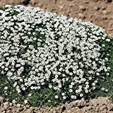 Outsidepride Irish Moss Ground Cover Plant Seed - 5000 Seeds