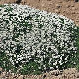 Outsidepride Irish Moss Ground Cover Plant Seeds - 10000 Seeds