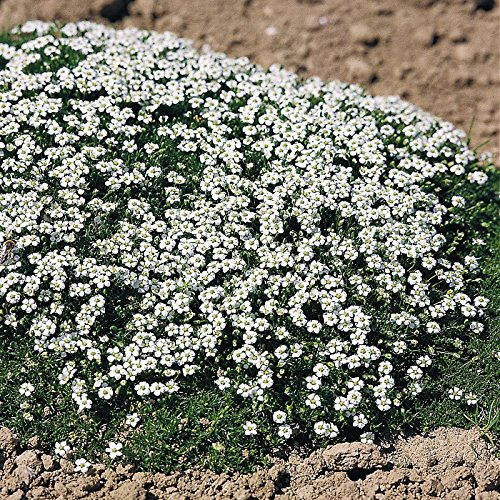- Outsidepride Irish Moss Ground Cover Plant Seeds - 10000 Seeds