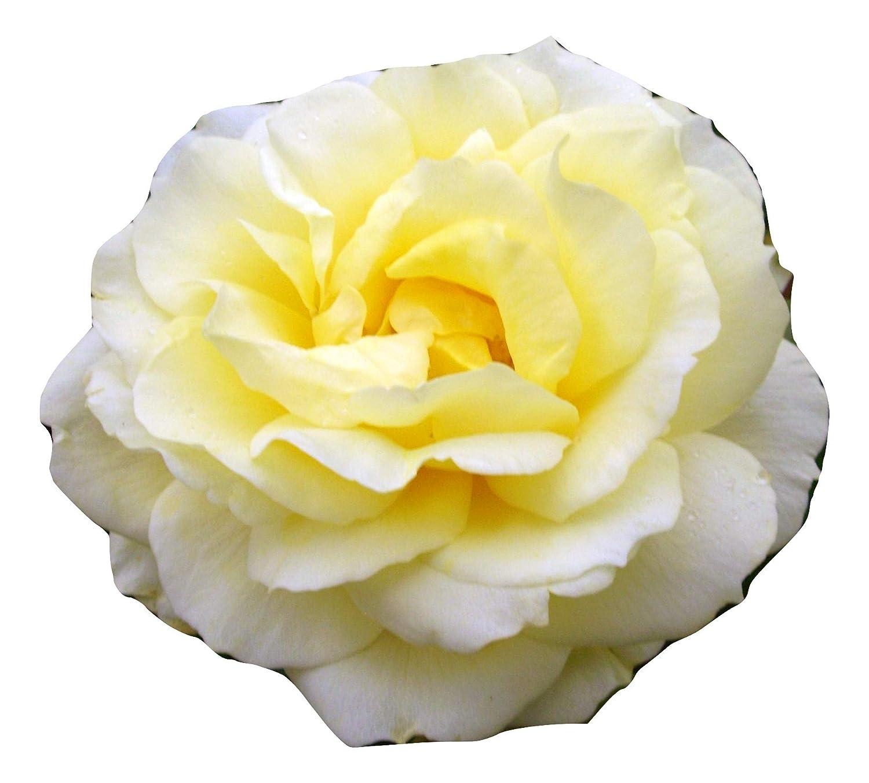 DONNA ROSE- Superb Living Plant & Flower Gift Birthday For Mum,Mom,Women,Her, Personalised Gift Giftaplant 4 Litre