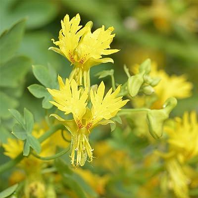 Outsidepride Nasturtium Canary Creeper - 100 Seeds : Flowering Plants : Garden & Outdoor