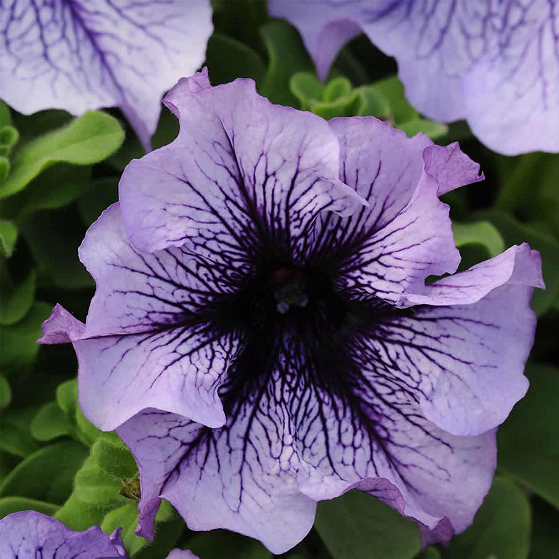 Petunia - Daddy Series Flower Garden Seed - 1000 Pelleted Seeds - Blue Blooms - Petunia x hybrida - Single Grandiflora Petunias - Annual Flowers