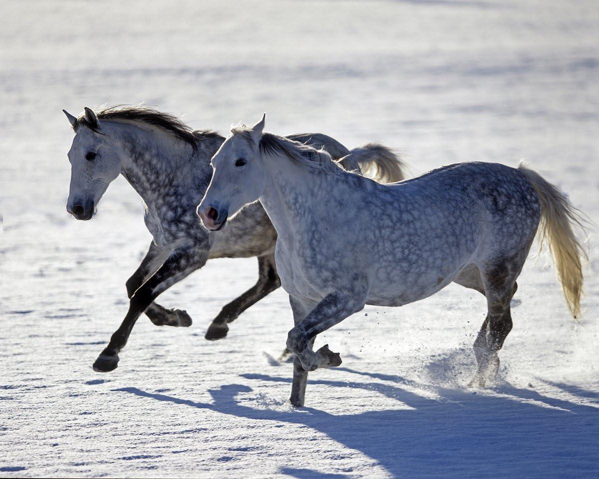 Amazon.com: Dapple Grey Horses in the snow Giclee Art Print Poster