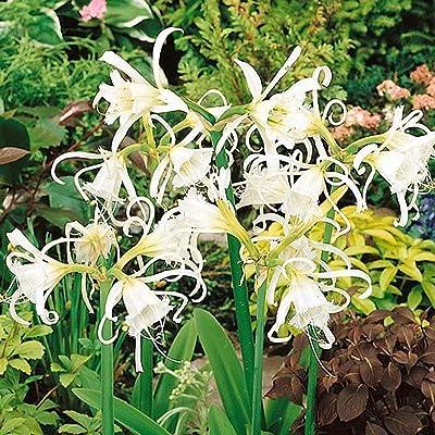 TelDen Garden Seeds - Beautiful Rare Spider Lily Seeds Home Garden Flower Planting Flowers : Garden & Outdoor
