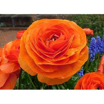 Ranunculus Picottee Mix - Persian Buttercup Bulbs - 20 XL Bulbs (Not Seeds!) - 8+ cm from USA Grower: Garden & Outdoor