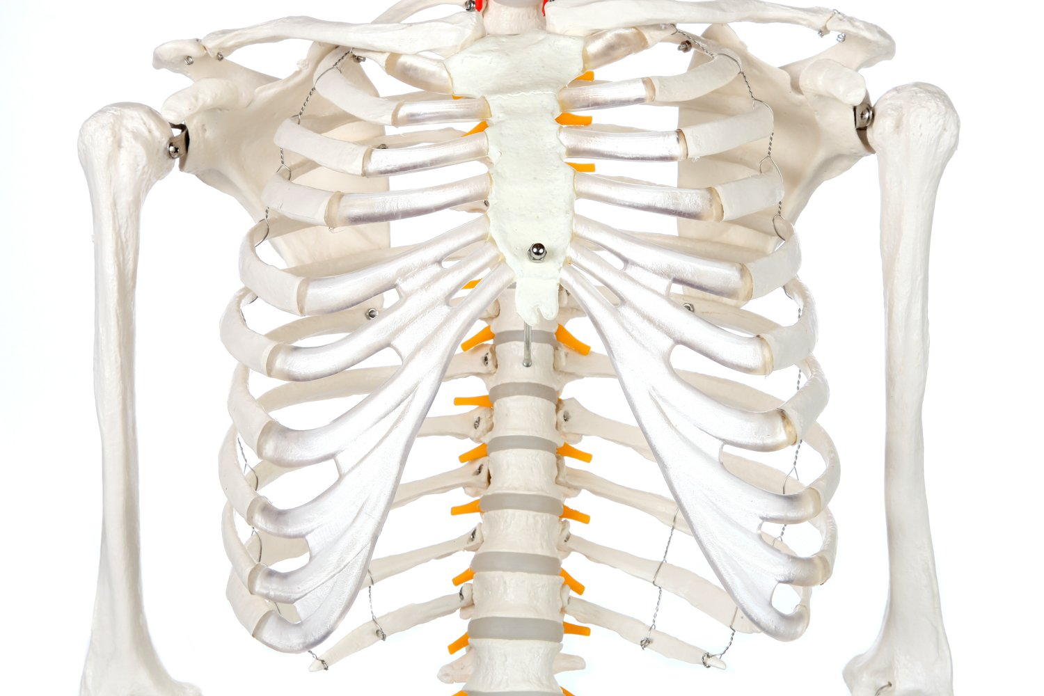 Axis Scientific Classic Human Skeleton With Study Numbering Guide