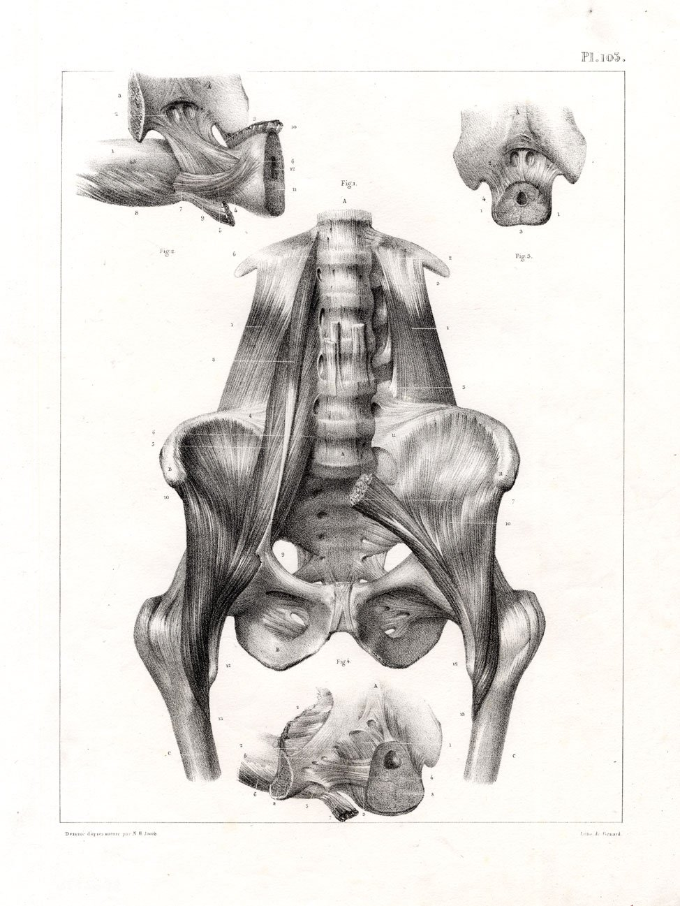 Amazon Antique Medical Anatomy Print Muscles Pelvis Hip