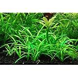 10+ Dwarf Sagittaria Subulata Loose Aquatic Live Aquarium Plants BUY2GET1FREE