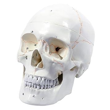Cranstein E-211 Anatomisches Schädel - Modell, 3-teilig ...