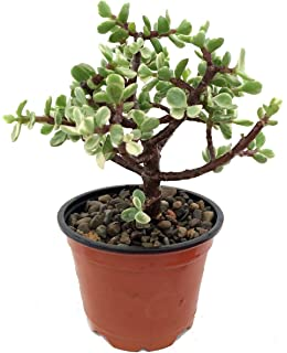 Amazon Com 2 Large Jade Cuttings Succulent Crassula Ovata