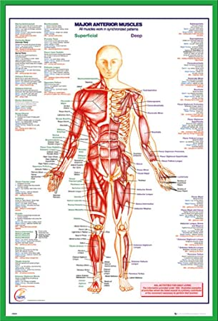 Amazon.de: Educational - HThe Human Body Anterior Muscle Muskeln ...