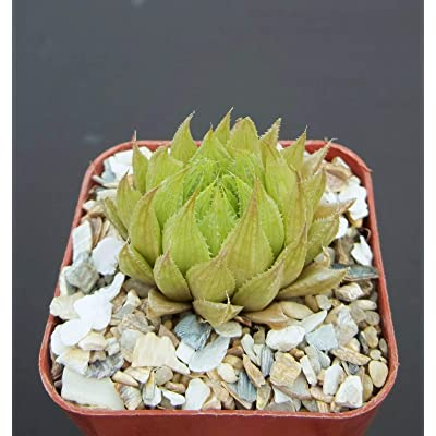 "Toyensnow - Haworthia cooperi VAR. gordoniana, Rare Bonsai Cacti Exotic Cactus Plant (2"" Pot) : Garden & Outdoor"