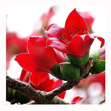 20 Kapok Bombax ceiba Large Deciduous Trees Seeds ~Chris's garden