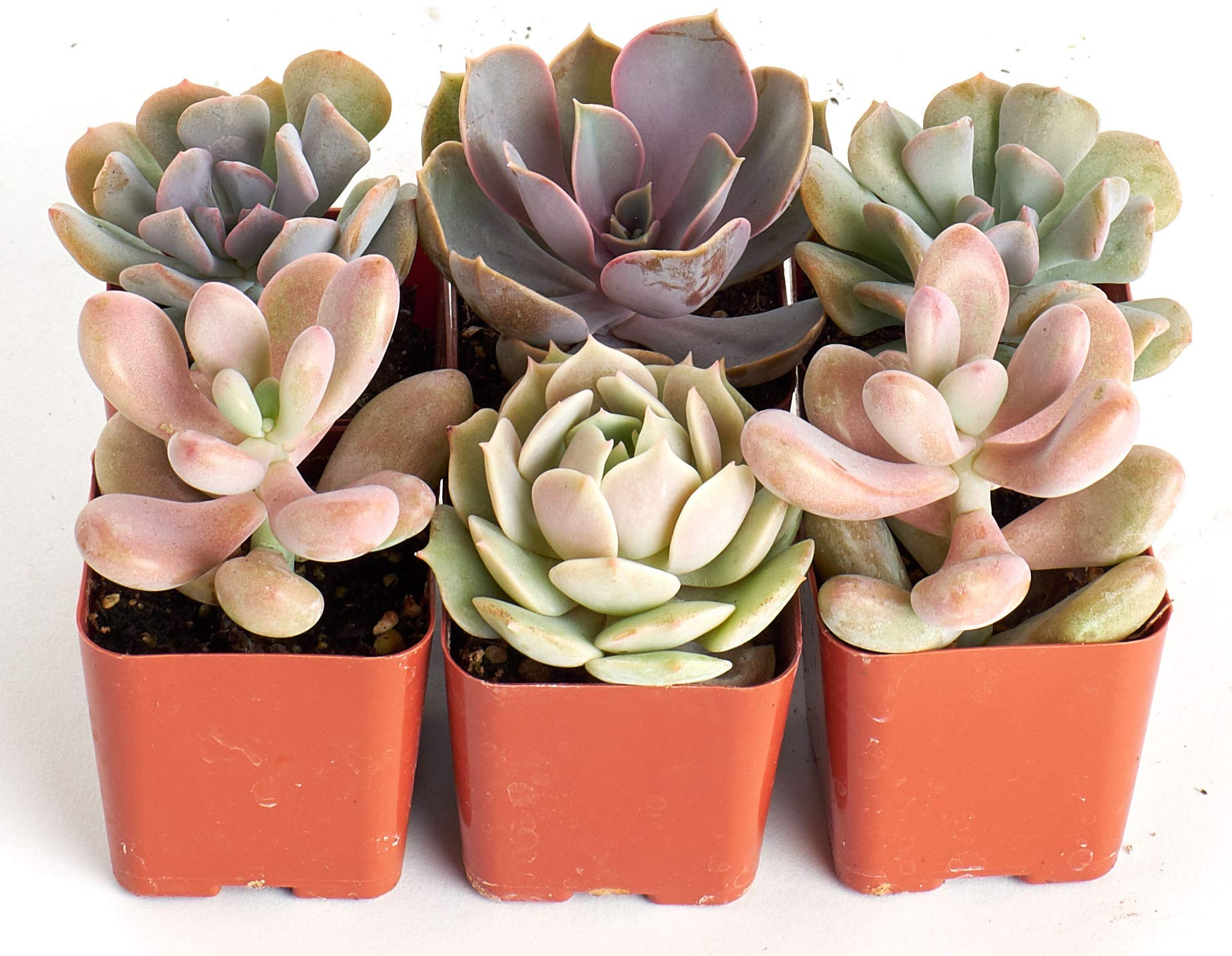 Shop Succulents | It's A Girl! Pink Collection of Live Succulent Plants, Hand Selected Variety Pack of Mini Succulents in Pastel Pink Colors | Collection of 6
