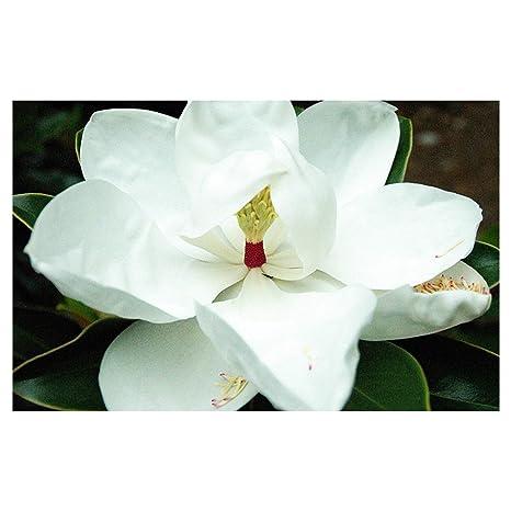 Amazoncom Southern Magnolia Tree Hardy Established Roots
