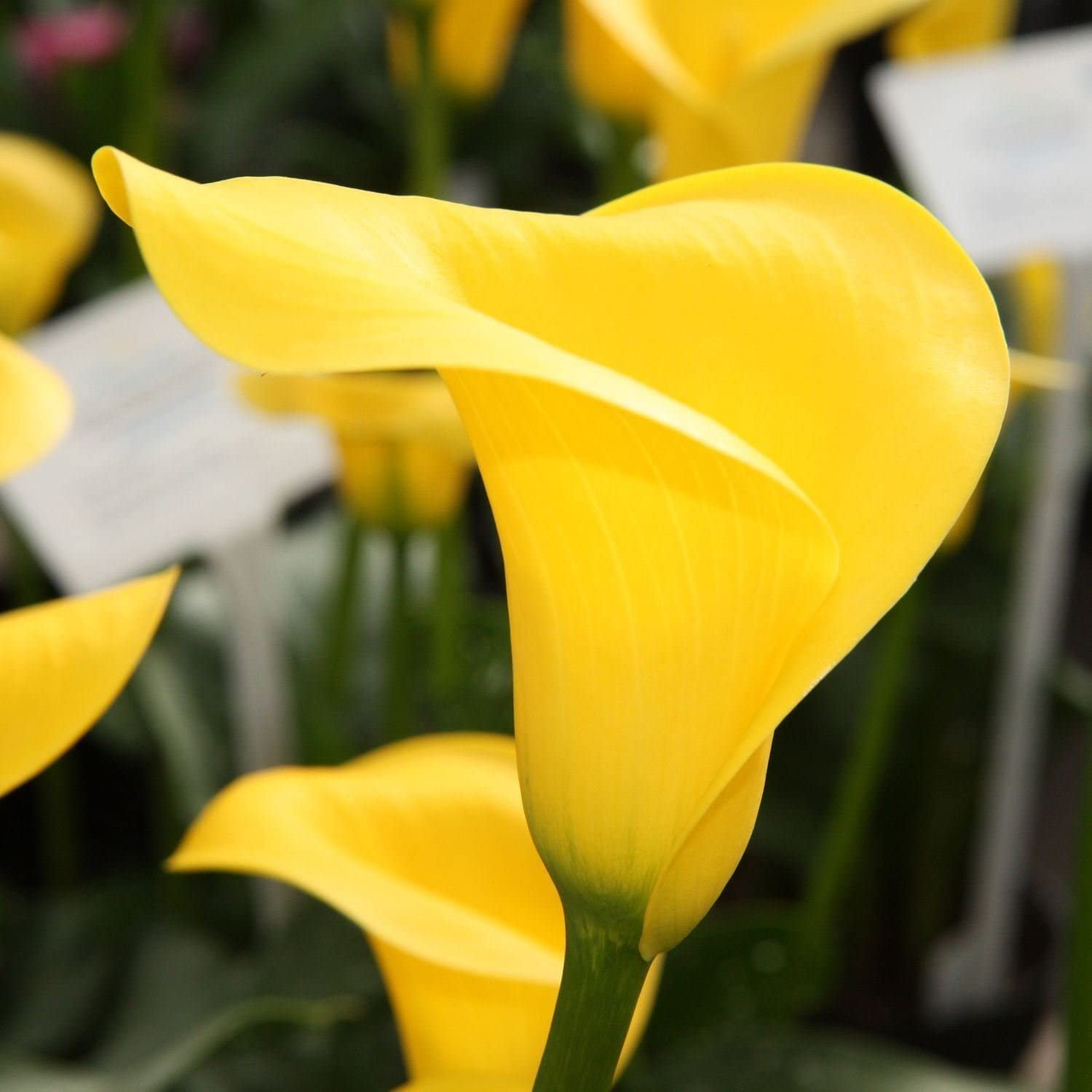 Amazon Com Calla Lily Yellow 2 Bulb Ideal For Pots And
