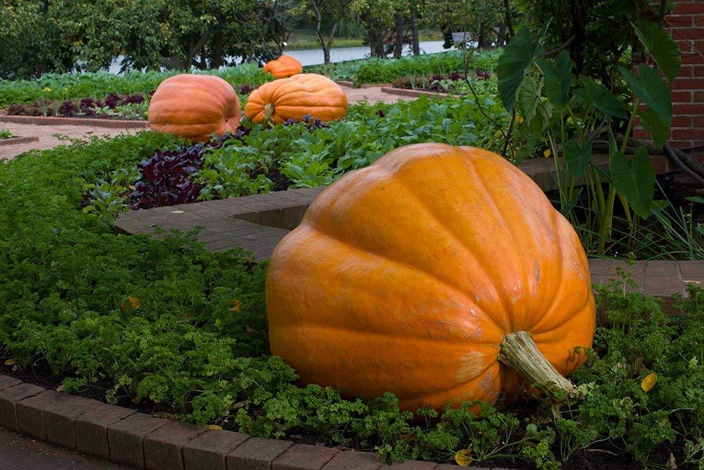 PLAT FIRM-Semi Dills Atlantic Giant Pumpkin Seeds 50