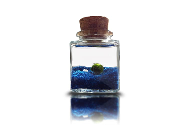Luffy Marimo Moss Ball Nano Terrarium Decor Japanese Rare Live
