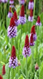 WFW wasserflora Orchideenprimel/Primula vialii, rot-violett im 9x9 cm Topf