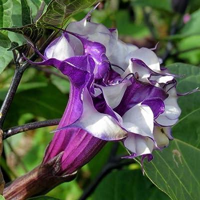 Qenci Datura Seeds, 100pcs/Bag Datura Brugmansia Seeds Potted Bonsai Trumpets Angel Flower Seeds : Garden & Outdoor