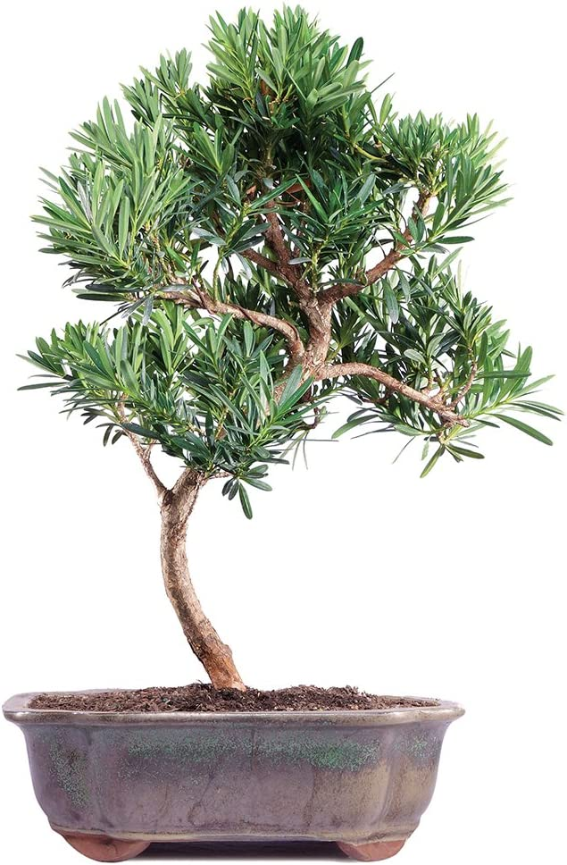 Amazon Com Brussel S Live Podocarpus Micro Phyllus Outdoor Bonsai Tree 5 Years Old 8 To 10 Tall With Decorative Container Garden Outdoor