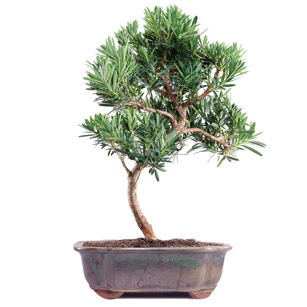 Brussels Podocarpus Micro Phyllus Bonsai Medium Wiring Yew Outdoor Garden